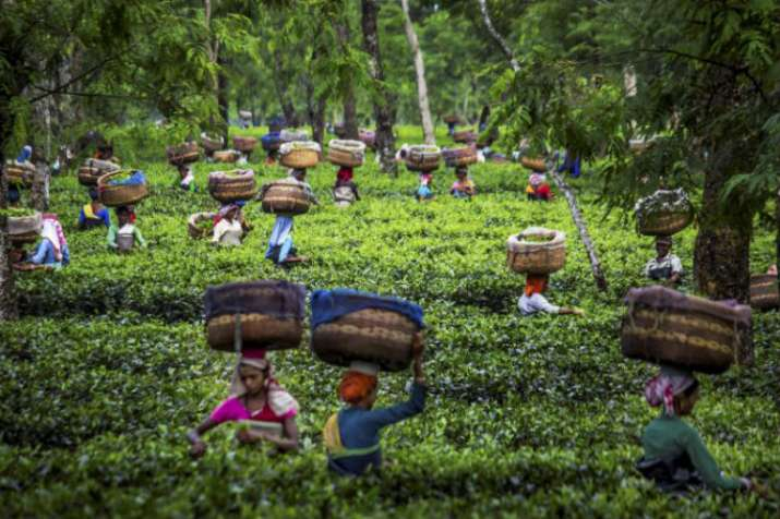 Assam tea growers start No Sickles campaign