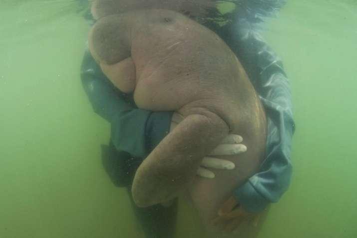 Thailand's lost baby dugong dies of shock, ingesting