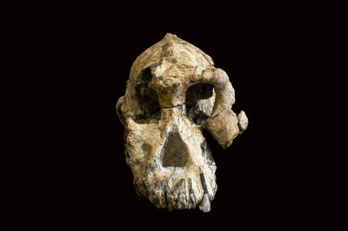 """India Tv - This undated photo provided by the Cleveland Museum of Natural History in August 2019 shows a fossilized cranium of Australopithecus anamensis. The species is considered to be an ancestor of A. afarensis, represented by """"Lucy"""" found in 1974."""