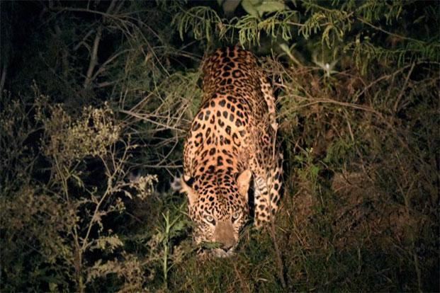 leopard kills men in UP's Bijnor