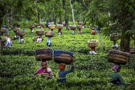 In a new record, tea sold for Rs 75,000 per kg at Guwahati Tea auction Centre