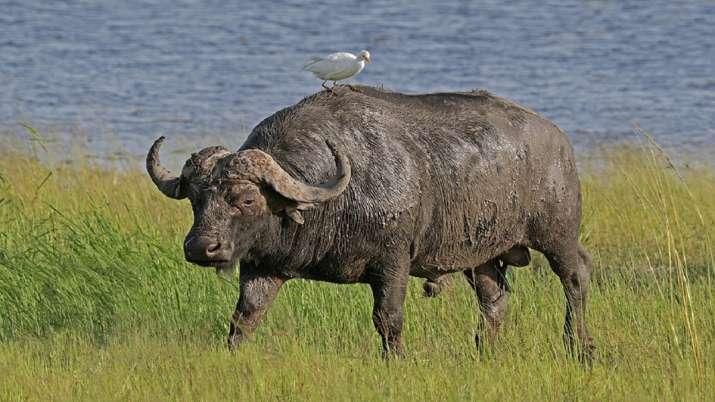 Delhi zoo's last cape buffalo dies after consuming plastic