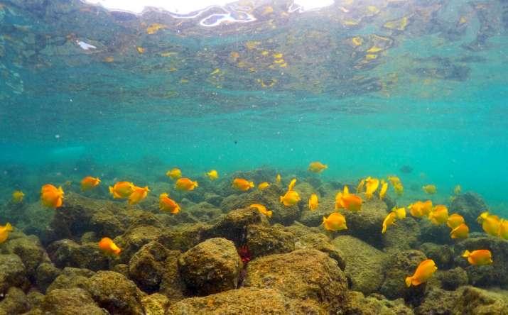 India Tv - Fish swim near bleaching coral in Kahala'u Bay in Kailua-Kona, Hawaii.