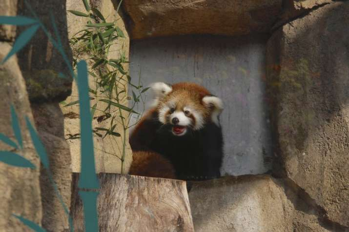 India Tv - Kiki, red panda cub in Milwaukee zoo