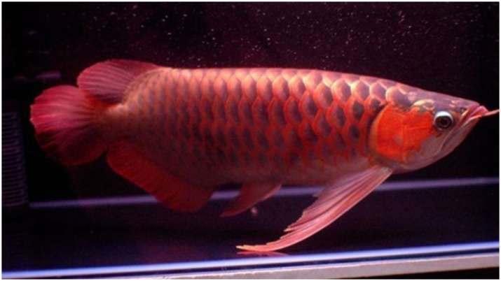 Vastu Tips: Arowana fish brings happiness and prosperity in your home. Know how