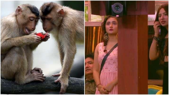 Bigg Boss 13: Monkeys scare Rashami, Devoleena and Mahira Sharma. Seen the video?