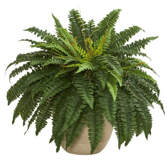 India Tv - Boston fern