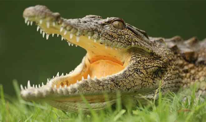 Crocodile takes shelter inside police station in UP
