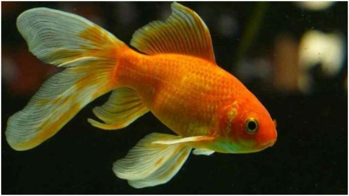 Vastu Tips: Keeping goldfish can bring prosperity in your house. Know why
