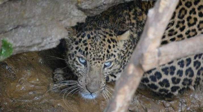 Leopard enters godown in Ambala, creates panic