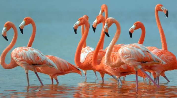 Flamingoes flock late to Agra sanctuary due to delayed rains