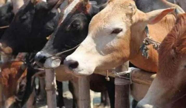 Now, coats for cows in Ayodhya!