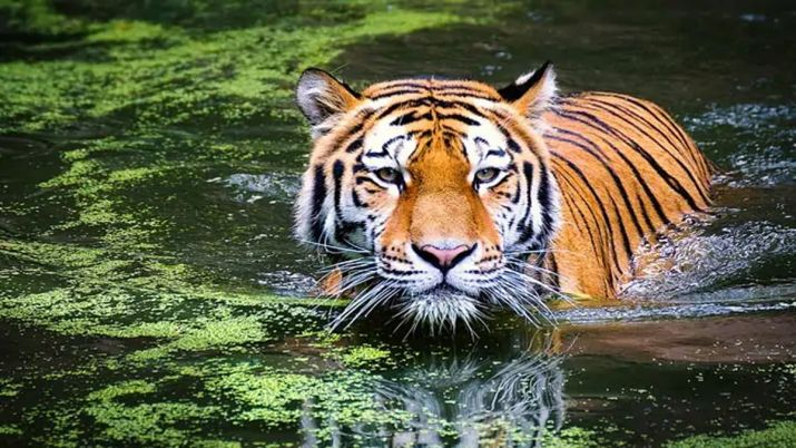 Tiger jumps 35-feet off bridge; dies of spinal injuries