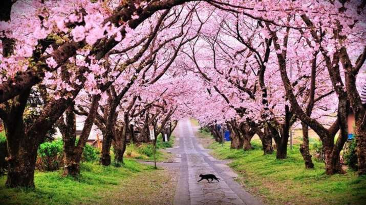 Forget Japan, Visit Meghalaya for the stunning cherry