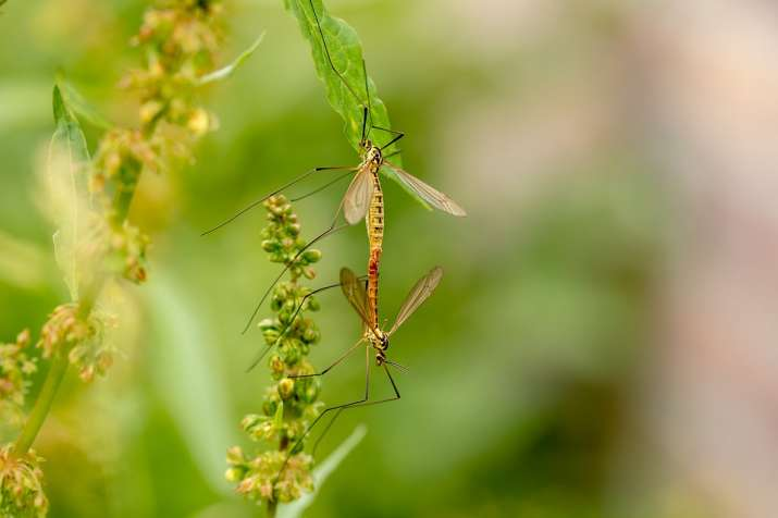 New study shows mosquitoes flap wings not just to fly but also to flirt