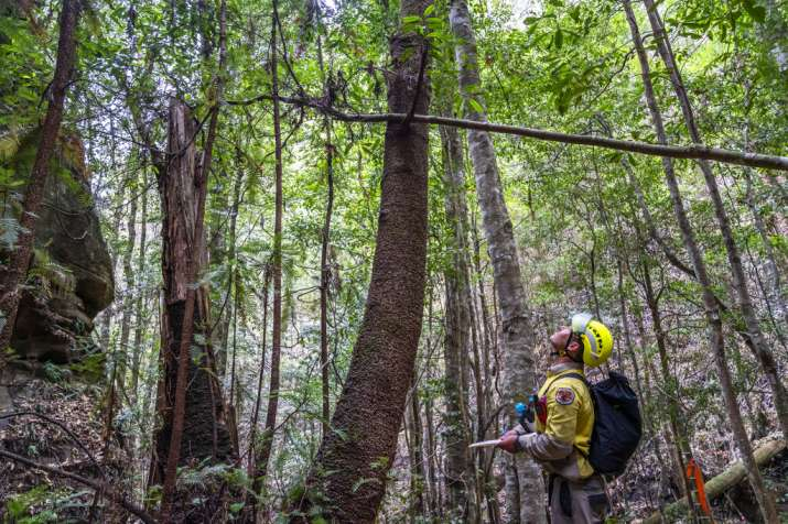 India Tv - In this photo taken early January 2020, and provided Thursday, Jan. 16, 2020, by the NSW National Parks and Wildlife Service, Wollemi pines tower above the forest floor in the Wollemi National Park, New South Wales, Australia. Specialist firefighters have saved the world's last remaining wild stand of a prehistoric tree from wildfires that razed forests west of Sydney