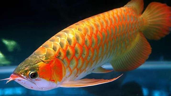 Vastu Tips: Keep Arowana fish at home for good luck