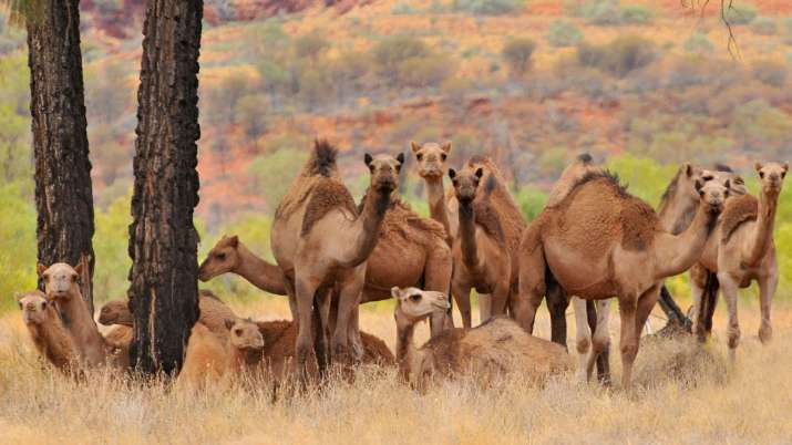 Over 5,000 camels shot dead in Australia in 5 days