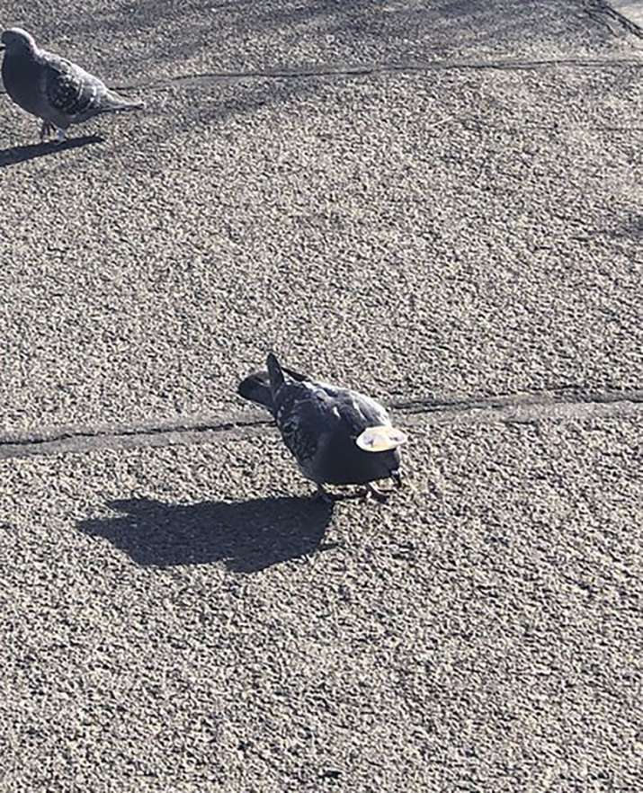 India Tv - This Wednesday, Jan. 15, 2020, photo provided by Sabra Newby shows a pigeon wearing a tiny sombrero in Reno, Nev., and discovered following sightings of its cowboy hat-wearing cousins in Las Vegas, a city manager said. Reno City Manager Sabra Newby tweeted about the bird, saying it's quirky and fun but still inhumane, KOLO-TV reported. It is the first known sighting of hat-wearing birds in the region, Washoe County Regional Animal Services officials said. The sighting comes after a pigeon in Las Vegas with a miniature cowboy hat glued to its head died earlier this week, animal officials said. (Sabra Newby via AP)