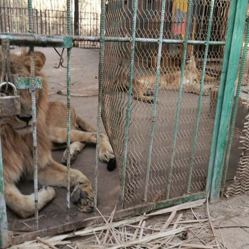 India Tv - Heartbreaking pictures of starving lions in Sudan zoo spark global concern