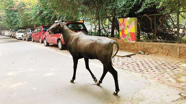 Lockdown Day 3: Nilgai spotted on road near GIP Mall in Noida Sec-18 | Watch