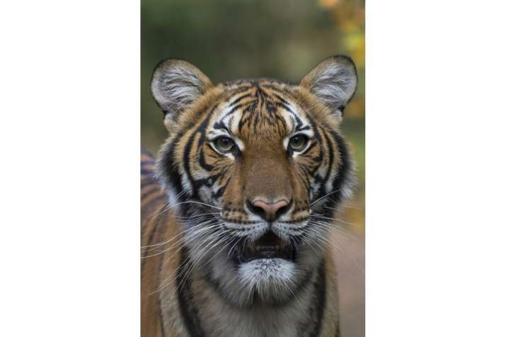 India Tv - This undated photo provided by the Wildlife Conservation Society shows Nadia, a Malayan tiger at the