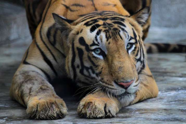 Animals At Coronavirus Risk Indian Zoos Put On High Alert To Be Under 24x7 Monitoring India News India Tv
