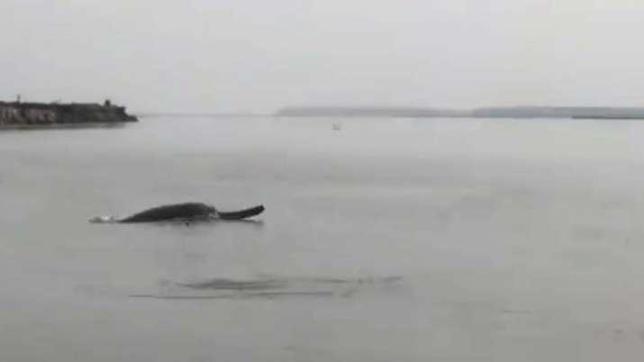 Dolphin, Ganga, Meerut, Uttar Pradesh