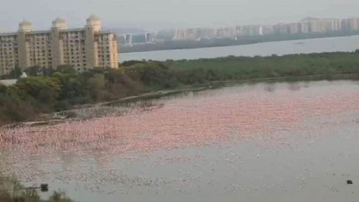 Pink flamingos make a spectacular show at NRI creek in Navy Mumbai