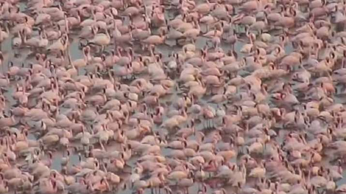 India Tv - Pink flamingos make a spectacular show at NRI creek in Navy Mumbai