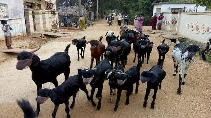 Fearing corona, Telangana farmer puts masks on goats