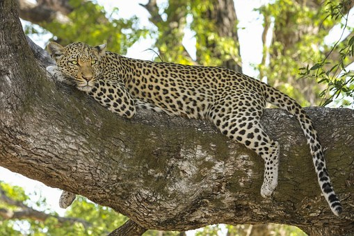 Villagers beat two leopards to death in UP's Bahraich
