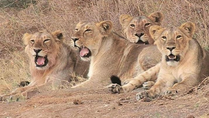 Gujarat: 14 lions captured in Gir forest, after cubs fall ill ...