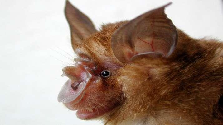 A horseshoe bat (Rhinolophus sinicus), which was found in a