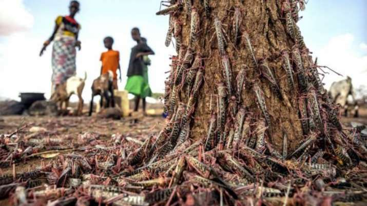 Locust attack alert! MP farmers beat utensils, IFS officer shares 'scary' photos