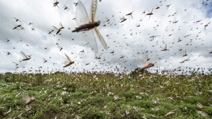Desert locusts enter Vidarbha region