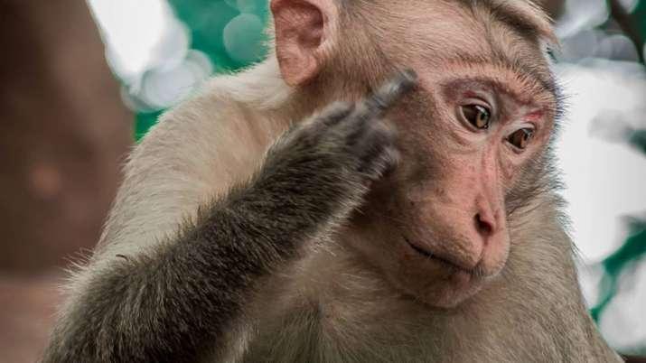 Monkeys snatching blood samples in Meerut trigger false alarm over coronavirus