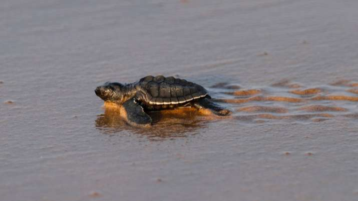 Millions of Olive Ridley turtles make their way to the sea on this Odisha coast