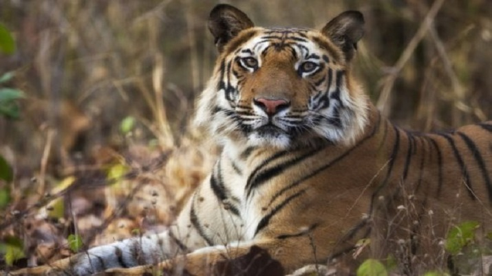 76 tigers killed due to illegal poaching in India this