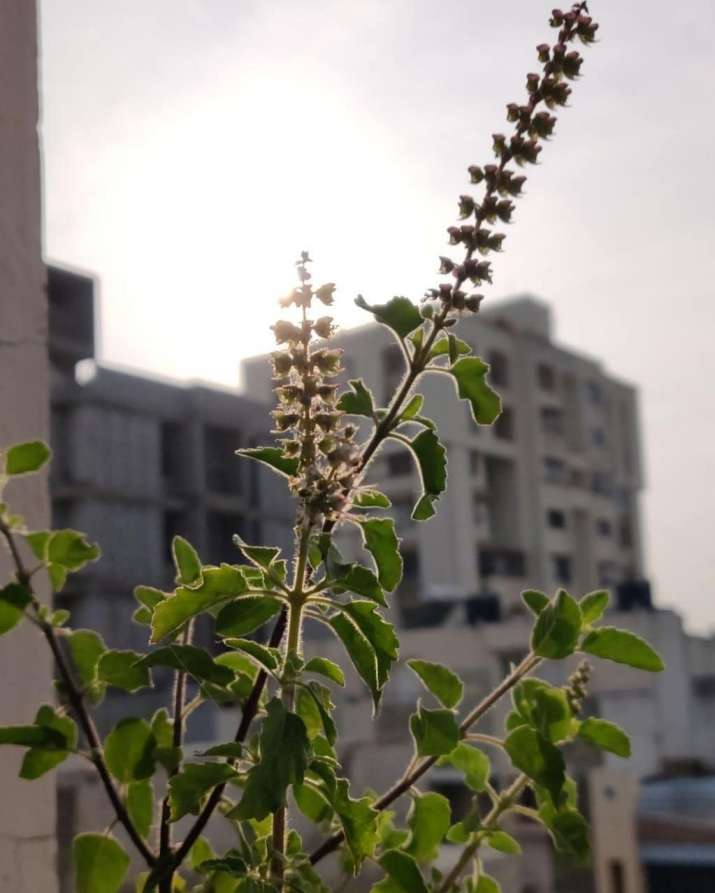 India Tv - Tulsi Plant