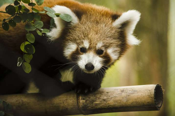 Conservationists satellite track red pandas in Nepal