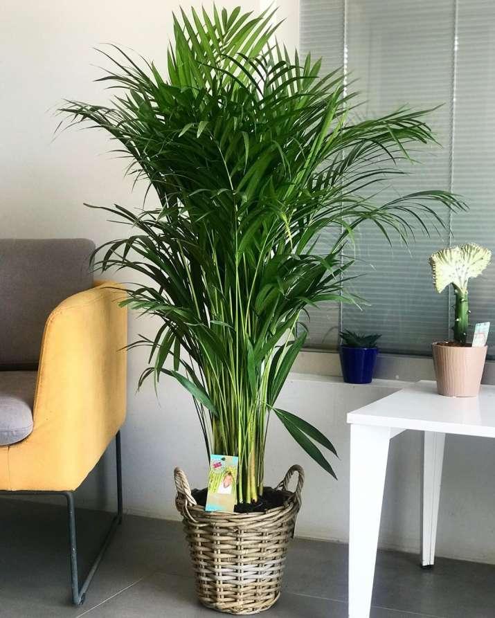 India Tv - Areca Palm