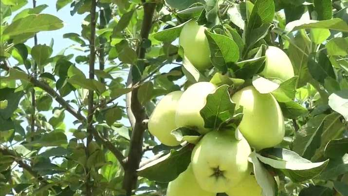 Apple tree, Apples, Jammu kashmir, samba