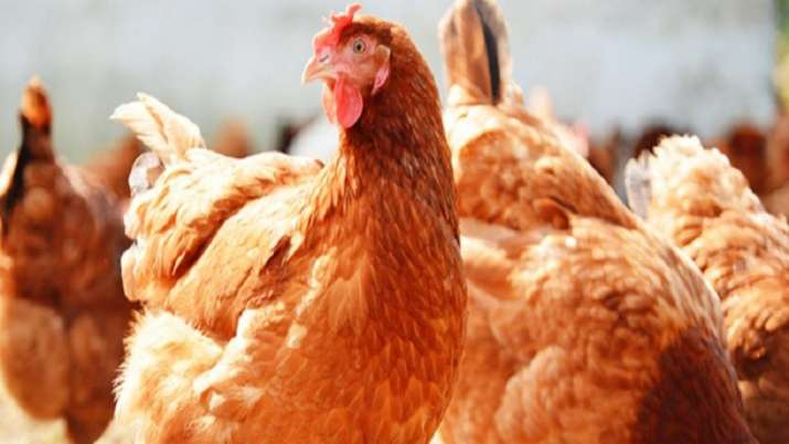 Study traces origin of domestic chicken