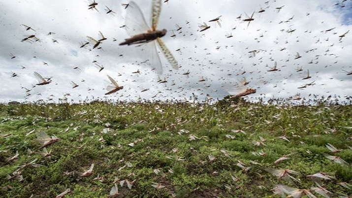 Video: Gurugram in line of fire as swarms of locust create menace in several parts