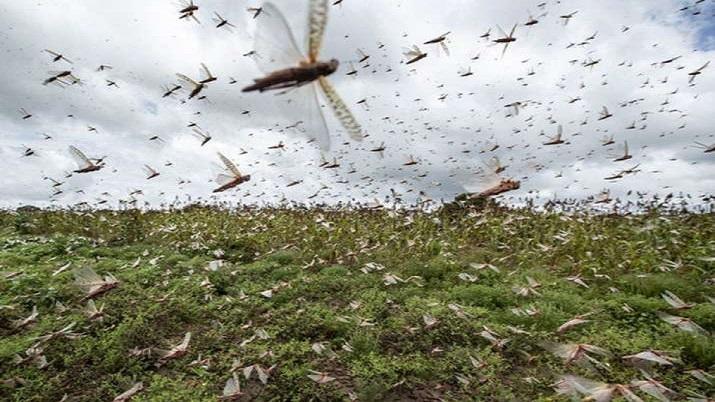 locust swarms, locust attacks, locust swarms noida, locust attack noida, locusts in noida, locust sw