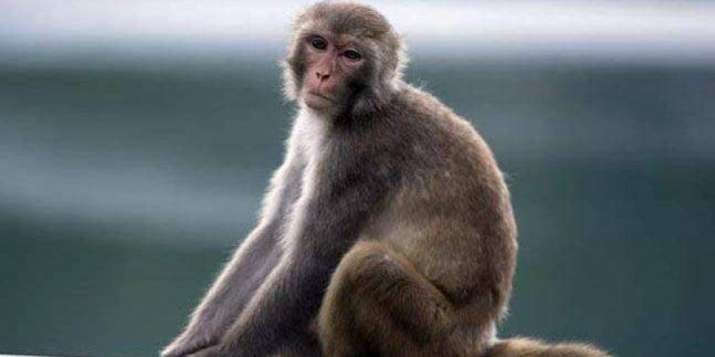 Monkey to serve life term in captivity for bitting people in Mirzapur (Representational image)