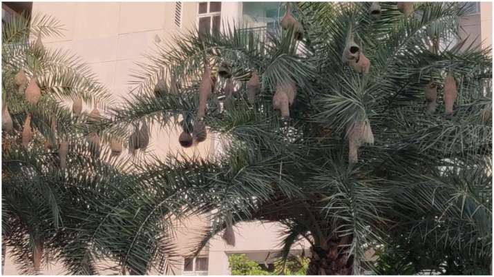 Meet Noida's rare guests: The baya weaver birds who are facing extinction