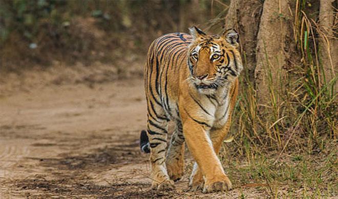 Maharashtra: Man killed by tiger in Chandrapur forest