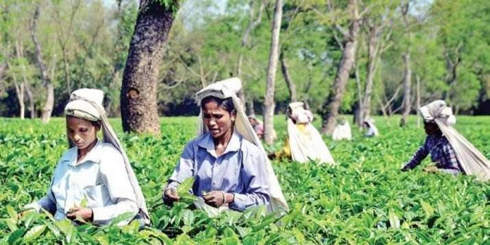 Lockdown and uneven rainfall hits tea crop, prices firm up at auctions
